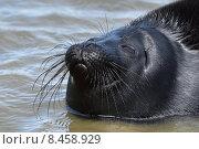 Купить «Ладожская кольчатая нерпа, прошедшая реабилитацию в Центре изучения и сохранения морских млекопитающих, выпущена в Ладожское озеро», фото № 8458929, снято 29 июля 2015 г. (c) Stockphoto / Фотобанк Лори