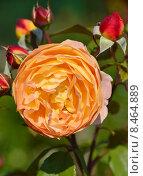 Купить «Роза кустарниковая Леди Эмма Гамильтон (лат. Lady Emma Hamilton), David Austin», эксклюзивное фото № 8464889, снято 27 июля 2015 г. (c) lana1501 / Фотобанк Лори