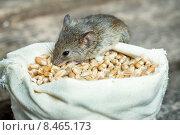 Купить «Мышь сидит на мешке с зерном», фото № 8465173, снято 31 июля 2015 г. (c) Типляшина Евгения / Фотобанк Лори