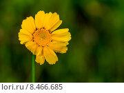 Златоцвет увенчанный. Стоковое фото, фотограф Роман Гурков / Фотобанк Лори