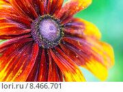 Рудбекия двухцветная. Стоковое фото, фотограф Роман Гурков / Фотобанк Лори