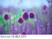 Купить «Лук круглоголовый - Allium sphaerocephalon на живописном фоне луга», фото № 8467037, снято 4 июля 2015 г. (c) Татьяна Белова / Фотобанк Лори