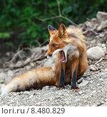 Купить «Красивая лиса с широко разинутой пастью», фото № 8480829, снято 12 июля 2015 г. (c) А. А. Пирагис / Фотобанк Лори