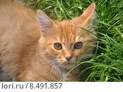 Купить «Рыжий котенок с рыжими глазами лежит в зеленой траве», эксклюзивное фото № 8491857, снято 24 июля 2015 г. (c) Дмитрий Абушкин / Фотобанк Лори