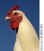 Купить «white rooster», фото № 8494301, снято 22 июля 2019 г. (c) PantherMedia / Фотобанк Лори