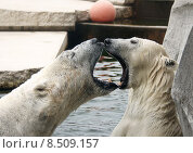 Купить «arctic ursus maritimus polar bear», фото № 8509157, снято 25 апреля 2019 г. (c) PantherMedia / Фотобанк Лори