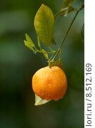 Купить «plant fruit orange still life», фото № 8512169, снято 19 октября 2019 г. (c) PantherMedia / Фотобанк Лори