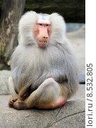 skin monkey mane apes baboon. Стоковое фото, фотограф Nicole Kröger / PantherMedia / Фотобанк Лори