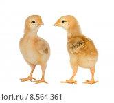 Купить «Two yellow little chickens», фото № 8564361, снято 16 июля 2019 г. (c) PantherMedia / Фотобанк Лори