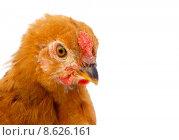 Купить «Brown hen », фото № 8626161, снято 16 июля 2019 г. (c) PantherMedia / Фотобанк Лори