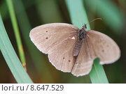 Купить «brown brunette butterfly moth brownish», фото № 8647529, снято 18 ноября 2017 г. (c) PantherMedia / Фотобанк Лори