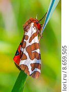 Медведица кайя (Arctia caja) — ночная бабочка из семейства Медведицы. Стоковое фото, фотограф Евгений Мухортов / Фотобанк Лори