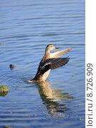 Купить «nature water wild bird animals», фото № 8726909, снято 22 октября 2019 г. (c) PantherMedia / Фотобанк Лори