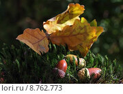 Купить «leaf forest fruits acorns progenies», фото № 8762773, снято 15 июля 2020 г. (c) PantherMedia / Фотобанк Лори