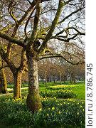 Daffodils in St. James Park. Стоковое фото, фотограф Elena Elisseeva / PantherMedia / Фотобанк Лори