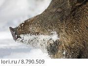 Купить «pig scrofa sus wild boar», фото № 8790509, снято 22 октября 2019 г. (c) PantherMedia / Фотобанк Лори