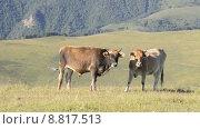 Купить «Быки (коровы) пасутся на высокогорном (альпийском) лугу на Северном Кавказе на фоне высоких гор», эксклюзивный видеоролик № 8817513, снято 9 августа 2015 г. (c) Алексей Бок / Фотобанк Лори