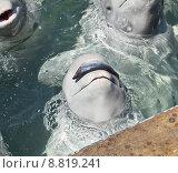 Белуха ждет разрешения съесть рыбу. Стоковое фото, фотограф Корнилова Светлана / Фотобанк Лори