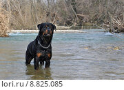 rottweiler in river. Стоковое фото, фотограф emmanuelle bonzami / PantherMedia / Фотобанк Лори