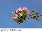 Купить «blossoms embellishment malus bleed floribunda», фото № 8880361, снято 22 октября 2018 г. (c) PantherMedia / Фотобанк Лори