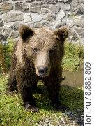 Купить «Wild Bear Cooling In Water», фото № 8882809, снято 22 октября 2019 г. (c) PantherMedia / Фотобанк Лори