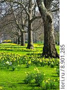 Daffodils in St. Jamess Park. Стоковое фото, фотограф Elena Elisseeva / PantherMedia / Фотобанк Лори