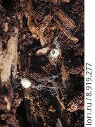 kokon wei insekten brut nest. Стоковое фото, фотограф asray Laleike / PantherMedia / Фотобанк Лори