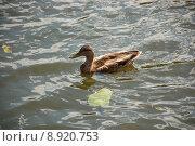 Купить «Подросший слеток утки-кряквы на воде», фото № 8920753, снято 8 августа 2015 г. (c) Бабкина Марина / Фотобанк Лори