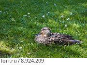 Купить «Female wild duck resting in grass», фото № 8924209, снято 22 октября 2019 г. (c) PantherMedia / Фотобанк Лори