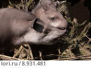 animal mammal herbivore tapir flachlandtapir. Стоковое фото, фотограф Martina Berg / PantherMedia / Фотобанк Лори