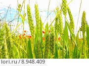 Купить «Young wheat growing in the fields», фото № 8948409, снято 21 февраля 2018 г. (c) PantherMedia / Фотобанк Лори