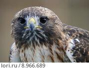 Купить «Red tailed hawk», фото № 8966689, снято 15 октября 2019 г. (c) PantherMedia / Фотобанк Лори
