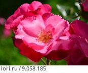 Купить «Роза парково-кустовая Нокаут (RADrazz, Purple Meidiland) (лат. Knock Out)», эксклюзивное фото № 9058185, снято 5 августа 2015 г. (c) lana1501 / Фотобанк Лори