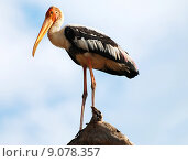 Купить «Painted Stork», фото № 9078357, снято 20 января 2020 г. (c) PantherMedia / Фотобанк Лори