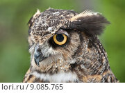 Купить «Great Horned Owl in Profile», фото № 9085765, снято 22 марта 2019 г. (c) PantherMedia / Фотобанк Лори