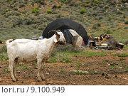 Купить «goat south africa hirtenzelt nama», фото № 9100949, снято 27 июня 2019 г. (c) PantherMedia / Фотобанк Лори
