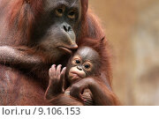 Купить «mammal protection protect monkey apes», фото № 9106153, снято 19 июня 2018 г. (c) PantherMedia / Фотобанк Лори