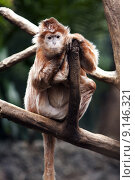 Купить «Ebony Langur monkey», фото № 9146321, снято 26 марта 2019 г. (c) PantherMedia / Фотобанк Лори