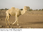 Купить «A white  camel in the desert», фото № 9152621, снято 22 мая 2018 г. (c) PantherMedia / Фотобанк Лори
