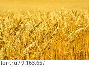Купить «summer field golden farm grain», фото № 9163657, снято 20 сентября 2018 г. (c) PantherMedia / Фотобанк Лори