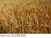 Купить «Ripe wheat field background», фото № 9238525, снято 22 августа 2018 г. (c) PantherMedia / Фотобанк Лори