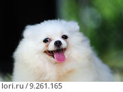 Купить «Little white pomeranian dog», фото № 9261165, снято 17 февраля 2020 г. (c) PantherMedia / Фотобанк Лори