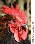 Купить «detail feather beak comb crows», фото № 9287745, снято 22 июля 2019 г. (c) PantherMedia / Фотобанк Лори