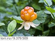 Купить «Cloudberry closeup in mountain», фото № 9379509, снято 31 июля 2019 г. (c) PantherMedia / Фотобанк Лори