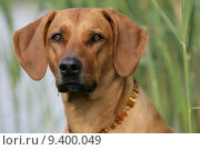 Купить «dog hound frontally noble hundekopf», фото № 9400049, снято 16 февраля 2019 г. (c) PantherMedia / Фотобанк Лори