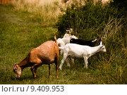Купить «Grazing Flock Of Goats», фото № 9409953, снято 25 марта 2019 г. (c) PantherMedia / Фотобанк Лори