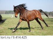 Купить «horse arab thoroughbred browner horsepower», фото № 9414425, снято 16 декабря 2017 г. (c) PantherMedia / Фотобанк Лори