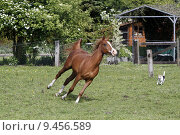 Купить «gelding gallop araberhengst araberstute araberwallach», фото № 9456589, снято 21 марта 2019 г. (c) PantherMedia / Фотобанк Лори
