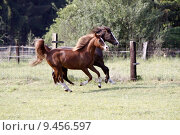 Купить «gelding gallop araberhengst araberstute araberwallach», фото № 9456597, снято 21 марта 2019 г. (c) PantherMedia / Фотобанк Лори