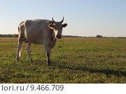 Корова пасется на лугу. Стоковое фото, фотограф Marina Kovyneva / Фотобанк Лори